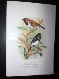 Frohawk & Butler 1899 Antique Bird Print. Bronze & Two Coloured Mannikin